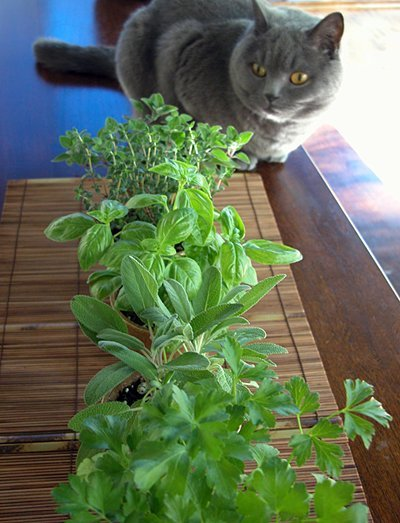 basil, parsley, sage, oregano, thyme